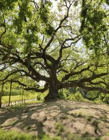 The oak of the witches in Capannori