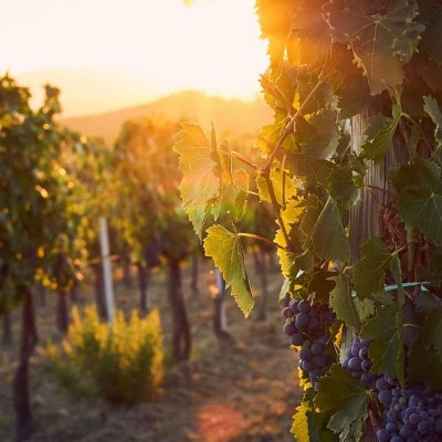 italy.tuscany.vineyards.wine.grapes.sunsetbig.jpg