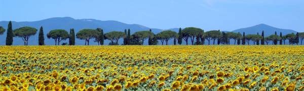 sunflowers_in_bloom_-_maremma_toscana_-_italy_-_25_june_2005.jpg