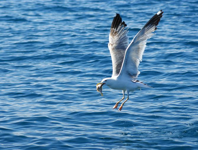 A seagull  while fishing its lunch