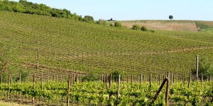 Chianti vineyards