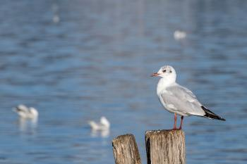 Seagull at Lake Massaciuccoli