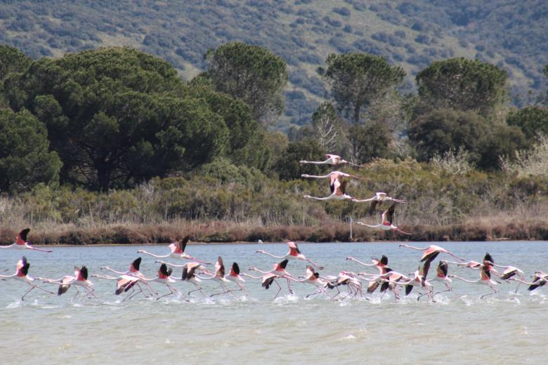 Flamingos in the Orbetello Lagoon