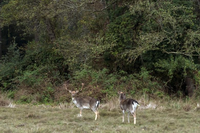 Pair of deer in the San Rossore Park