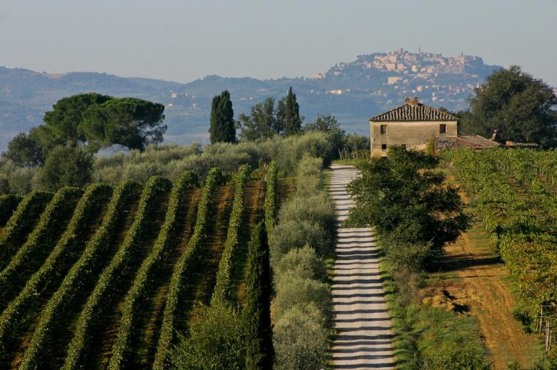 Vineyards and olive groves in Montepulciano