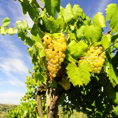 Vernaccia grapes