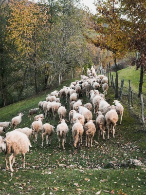 Zerasca breed of sheep